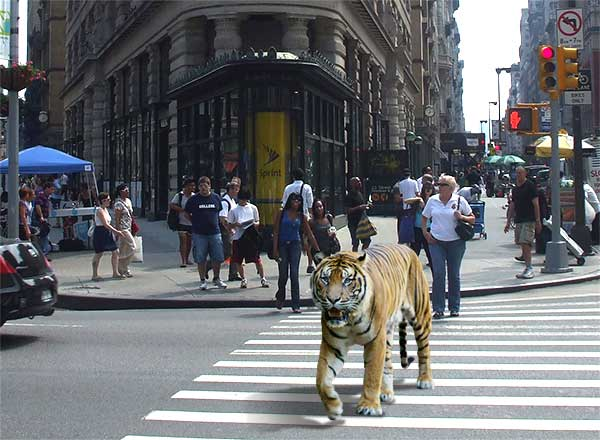 Tiger in New York